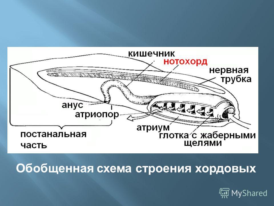 Обобщенная схема строения хордовых