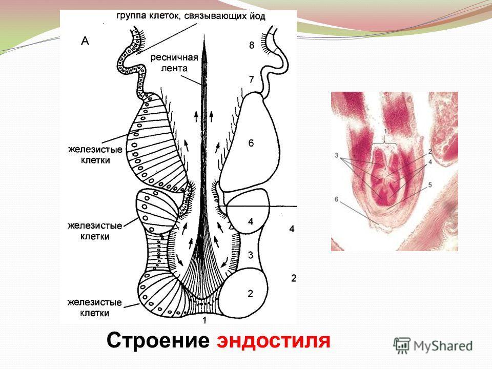 Строение эндостиля