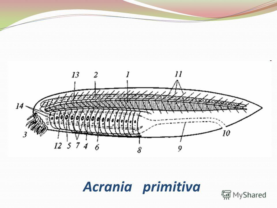 Acrania primitiva
