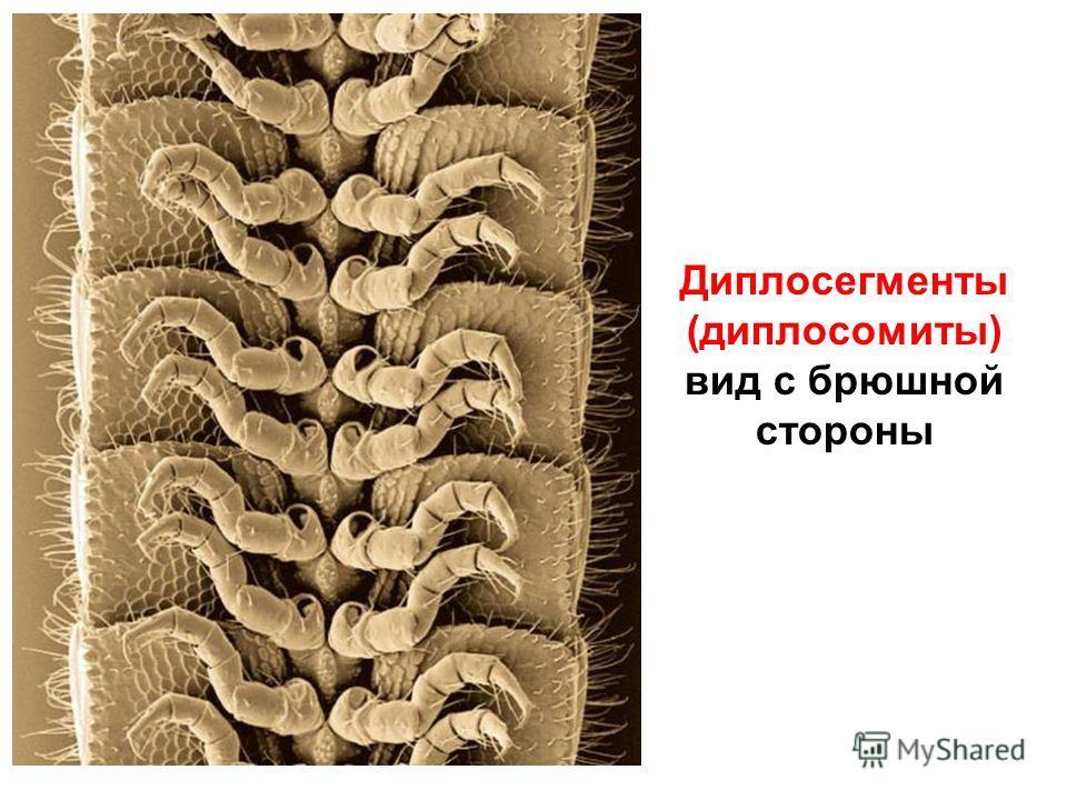 Диплосегменты (диплосомиты) вид с брюшной стороны