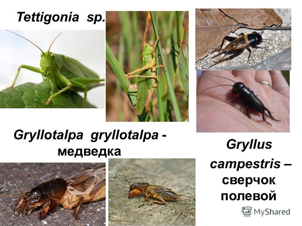 Tettigonia sp. Gryllotalpa gryllotalpa - медведка Gryllus campestris – сверчок полевой
