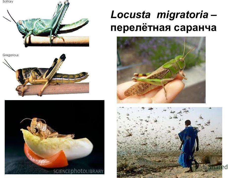 Locusta migratoria – перелётная саранча