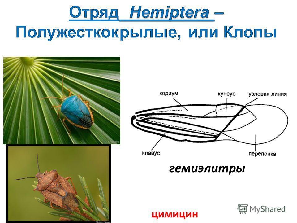 гемиэлитры цимицин