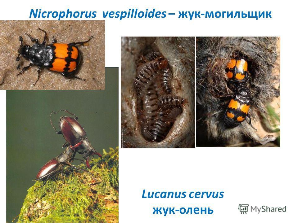 Nicrophorus vespilloides – жук-могильщик Lucanus cervus жук-олень