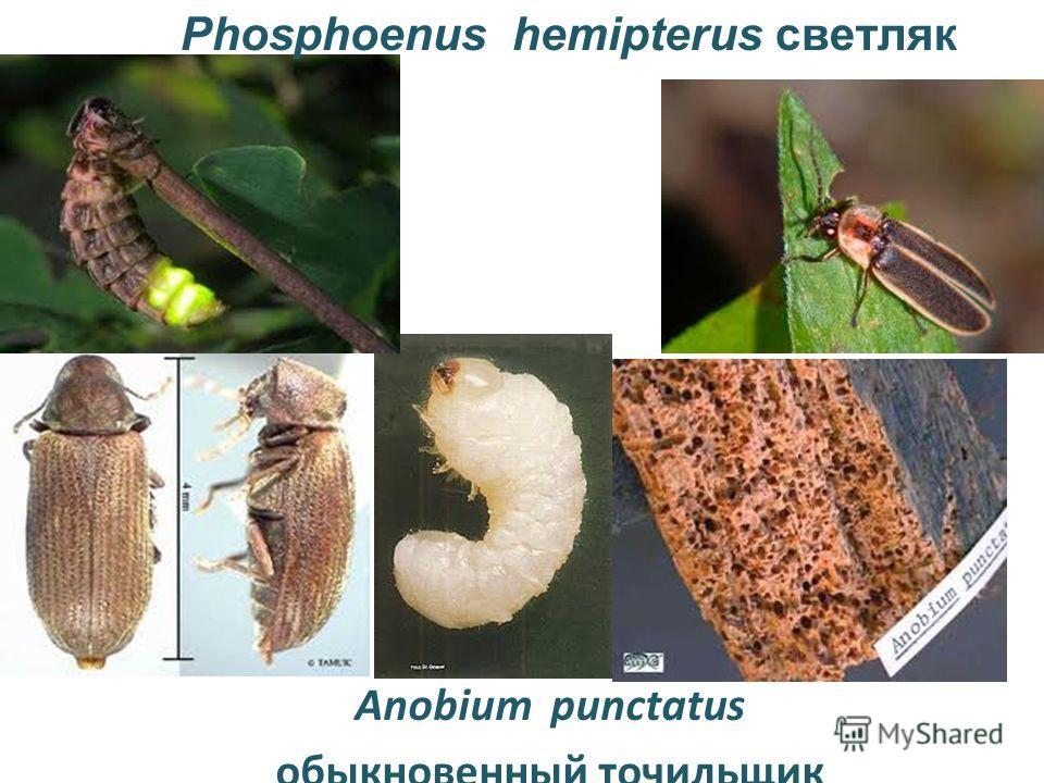 Anobium punctatus обыкновенный точильщик Phosphoenus hemipterus светляк