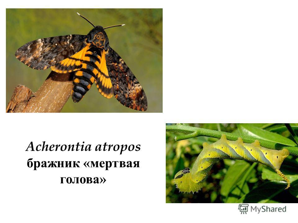 Acherontia atropos бражник «мертвая голова»