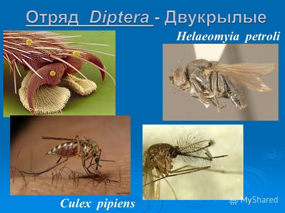 Helaeomyia petroli Culex pipiens