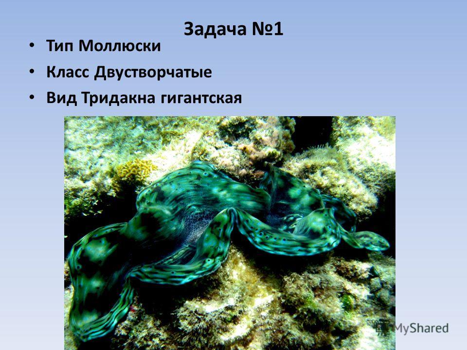 Задача 1 Тип Моллюски Класс Двустворчатые Вид Тридакна гигантская