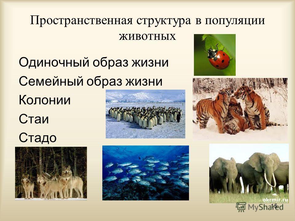 Пространственная структура в популяции животных Одиночный образ жизни Семейный образ жизни Колонии Стаи Стадо 15