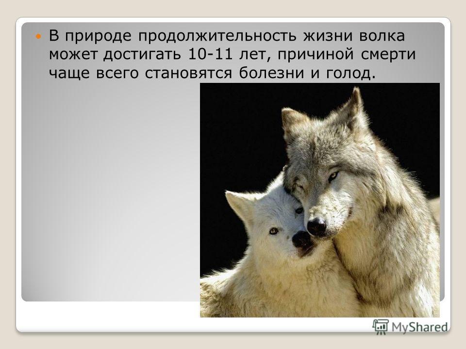 В природе продолжительность жизни волка может достигать 10-11 лет, причиной смерти чаще всего становятся болезни и голод.