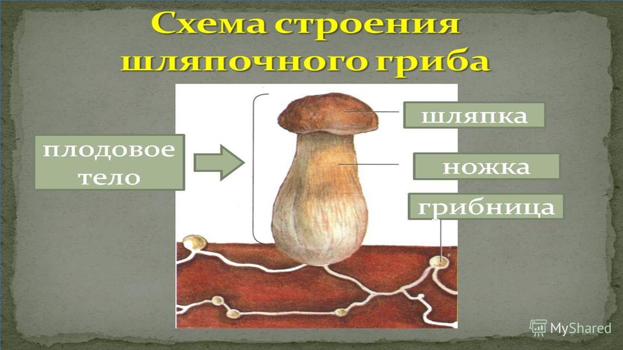 ТЕМА УРОКА «Грибы: съедобные и ядовитые. Почему осенью хорошо растут грибы?»