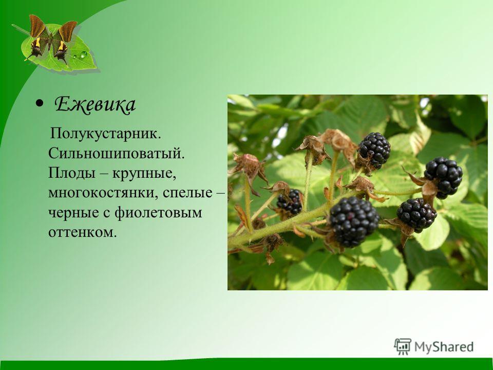 Ежевика Полукустарник. Сильношиповатый. Плоды – крупные, многокостянки, спелые – черные с фиолетовым оттенком.