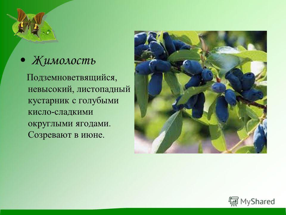 Жимолость Подземноветвящийся, невысокий, листопадный кустарник с голубыми кисло-сладкими округлыми ягодами. Созревают в июне.