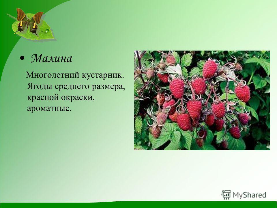 Малина Многолетний кустарник. Ягоды среднего размера, красной окраски, ароматные.