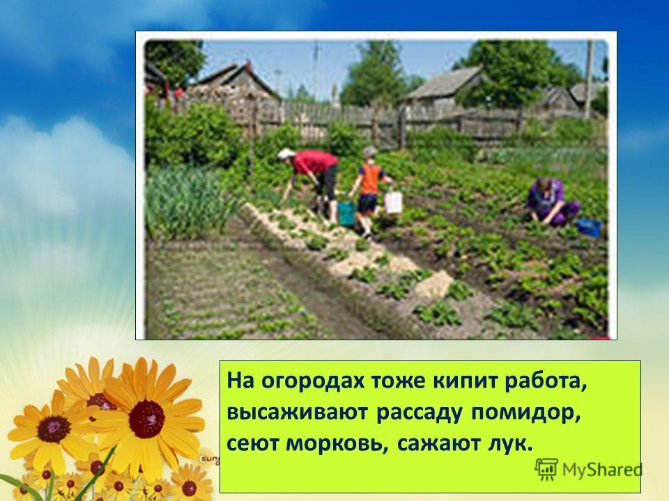 На огородах тоже кипит работа, высаживают рассаду помидор, сеют морковь, сажают лук.