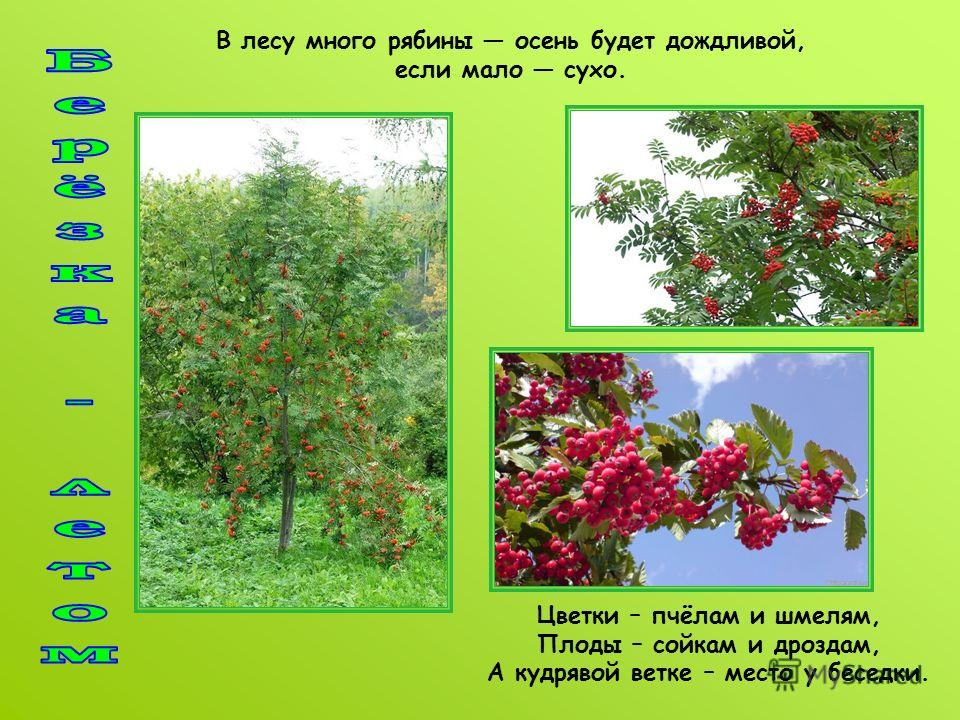 В лесу много рябины осень будет дождливой, если мало сухо. Цветки – пчёлам и шмелям, Плоды – сойкам и дроздам, А кудрявой ветке – место у беседки.