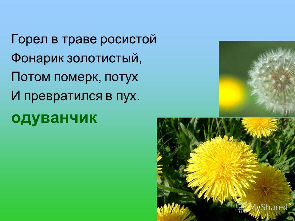 Горел в траве росистой Фонарик золотистый, Потом померк, потух И превратился в пух. одуванчик