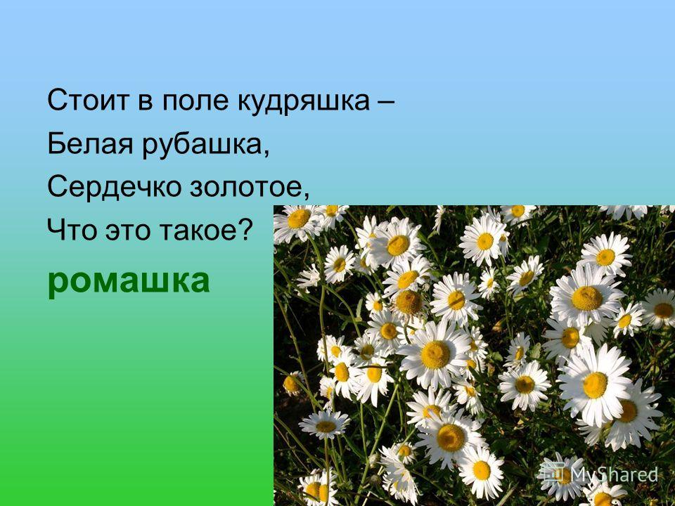 Стоит в поле кудряшка – Белая рубашка, Сердечко золотое, Что это такое? ромашка