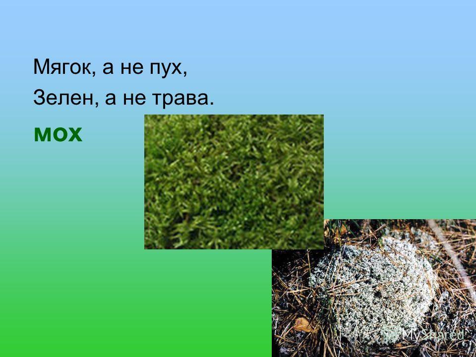 Мягок, а не пух, Зелен, а не трава. мох