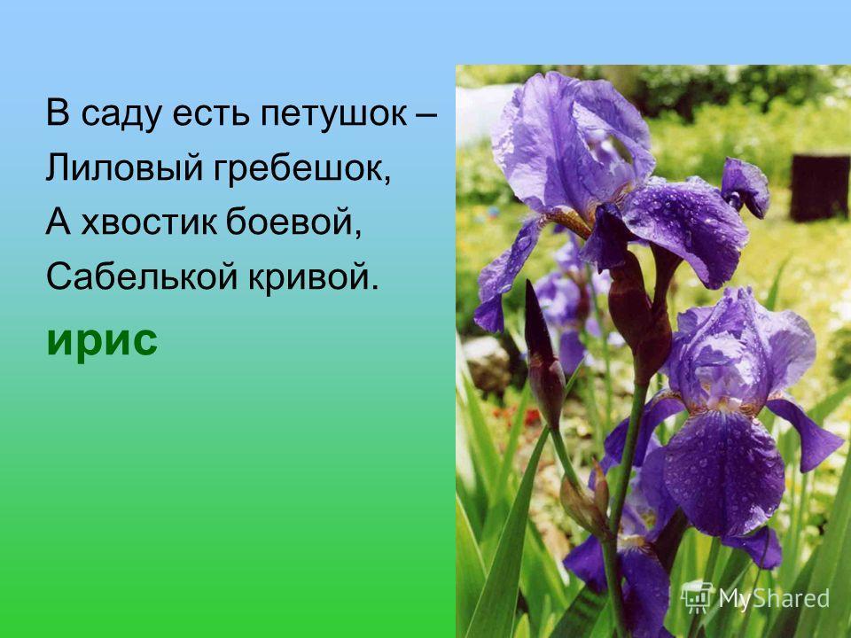 В саду есть петушок – Лиловый гребешок, А хвостик боевой, Сабелькой кривой. ирис