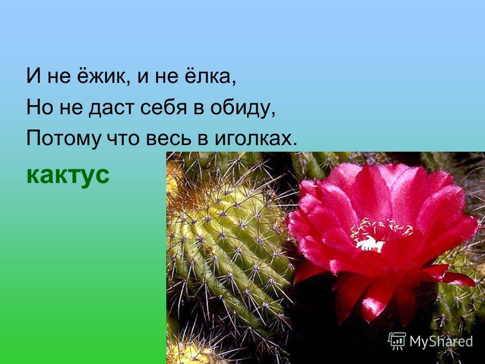 И не ёжик, и не ёлка, Но не даст себя в обиду, Потому что весь в иголках. кактус