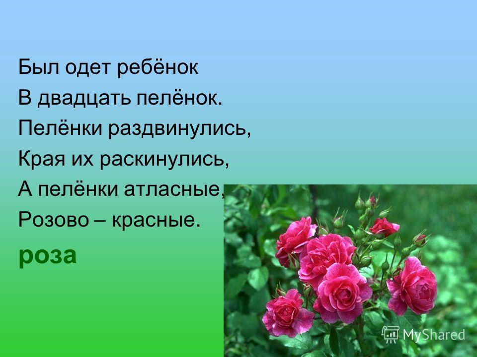 Был одет ребёнок В двадцать пелёнок. Пелёнки раздвинулись, Края их раскинулись, А пелёнки атласные, Розово – красные. роза
