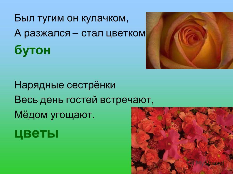 Был тугим он кулачком, А разжался – стал цветком. бутон Нарядные сестрёнки Весь день гостей встречают, Мёдом угощают. цветы