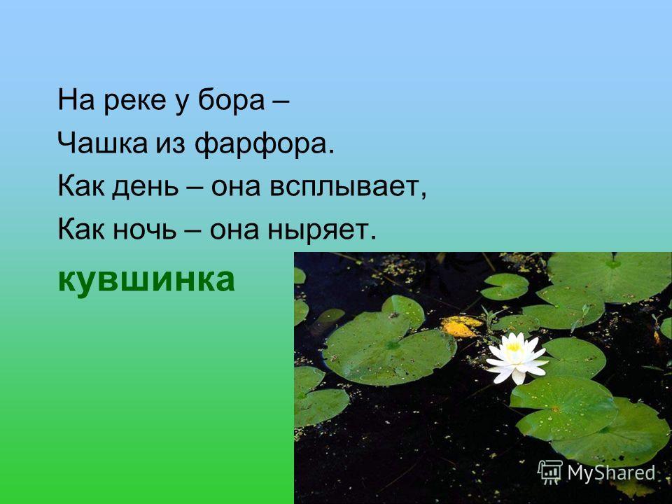 На реке у бора – Чашка из фарфора. Как день – она всплывает, Как ночь – она ныряет. кувшинка