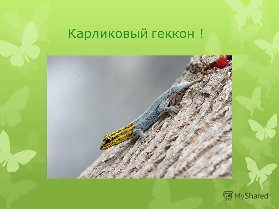 Карликовый геккон !