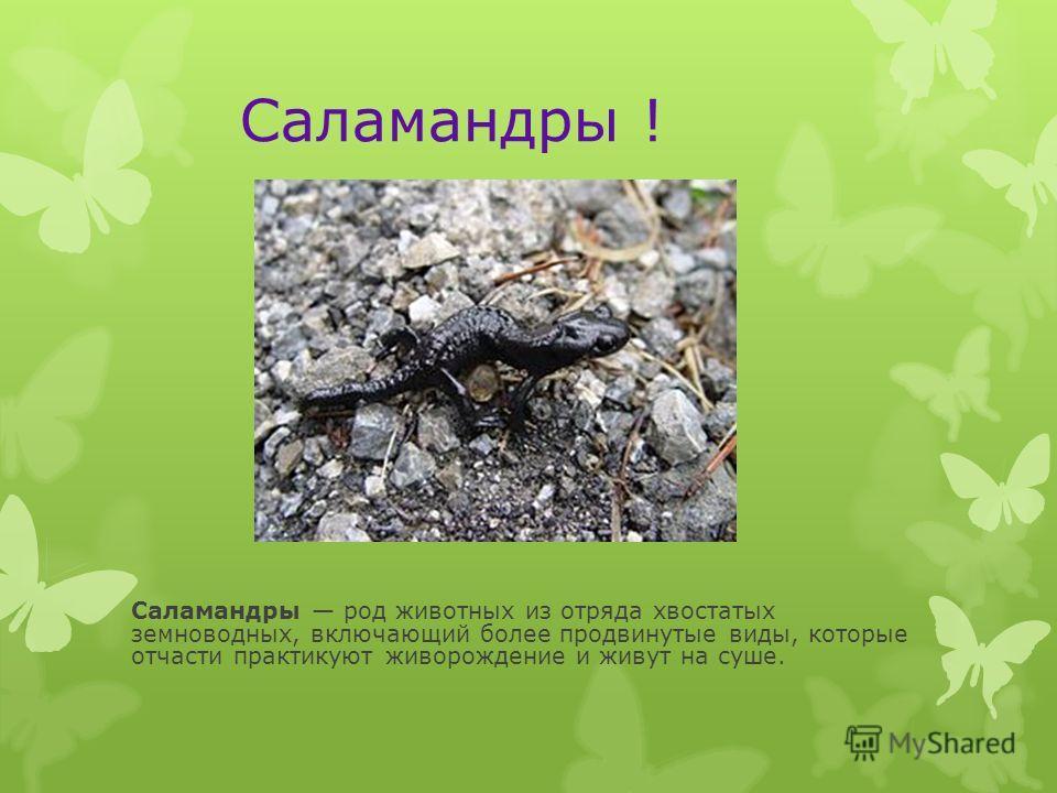 Саламандры ! Саламандры род животных из отряда хвостатых земноводных, включающий более продвинутые виды, которые отчасти практикуют живорождение и живут на суше.