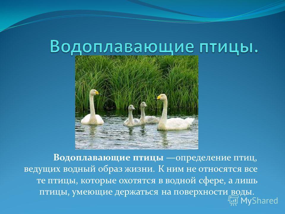 Водоплавающие птицы определение птиц, ведущих водный образ жизни. К ним не относятся все те птицы, которые охотятся в водной сфере, а лишь птицы, умеющие держаться на поверхности воды.