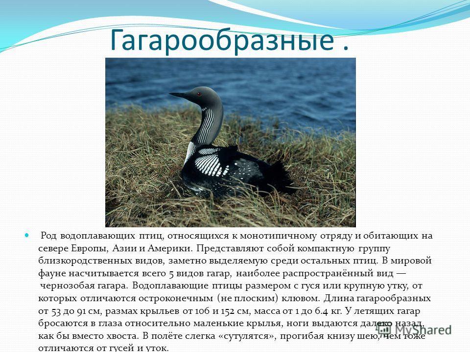 Гагарообразные. Род водоплавающих птиц, относящихся к монотипичному отряду и обитающих на севере Европы, Азии и Америки. Представляют собой компактную группу близкородственных видов, заметно выделяемую среди остальных птиц. В мировой фауне насчитывае