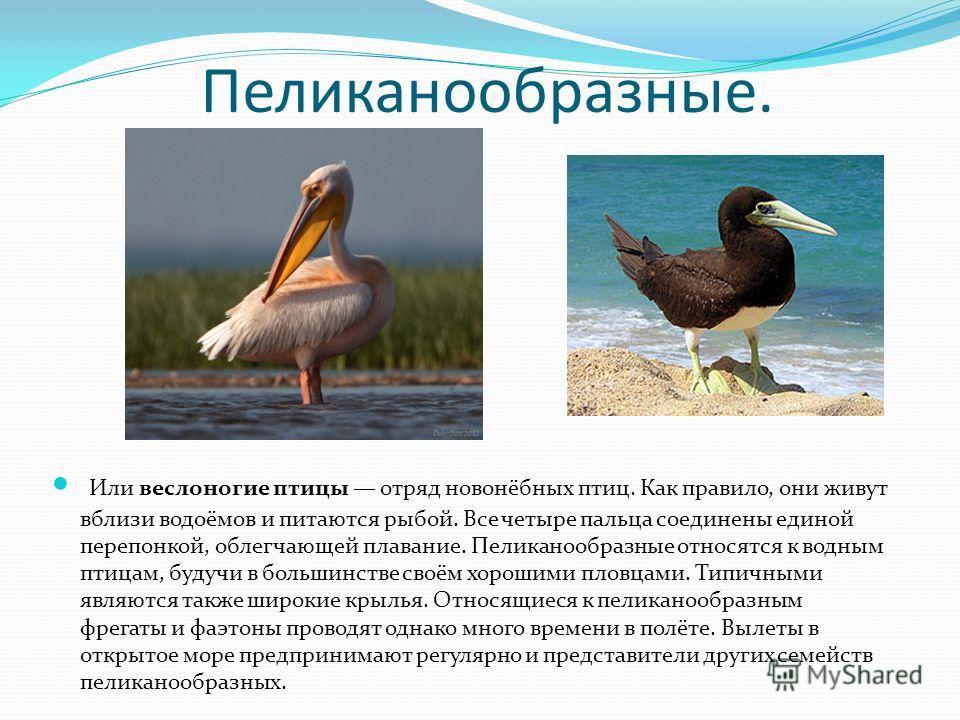 Пеликанообразные. Или веслоногие птицы отряд новонёбных птиц. Как правило, они живут вблизи водоёмов и питаются рыбой. Все четыре пальца соединены единой перепонкой, облегчающей плавание. Пеликанообразные относятся к водным птицам, будучи в большинст