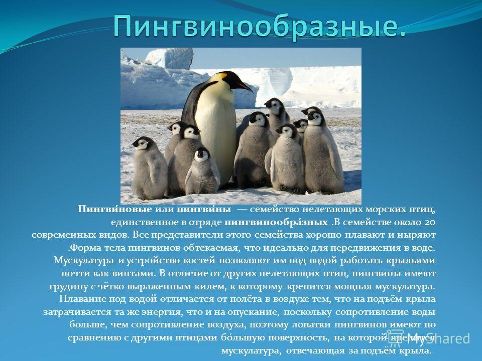 Пингви́новые или пингви́ны семейство нелетающих морских птиц, единственное в отряде пингвинообра́зных.В семействе около 20 современных видов. Все представители этого семейства хорошо плавают и ныряют.Форма тела пингвинов обтекаемая, что идеально для