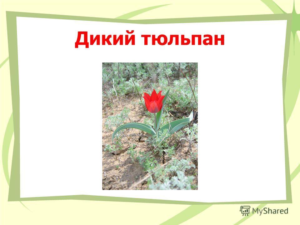 Дикий тюльпан