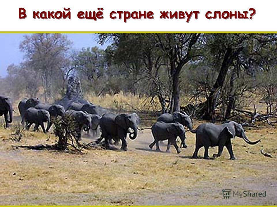 В какой ещё стране живут слоны? п п
