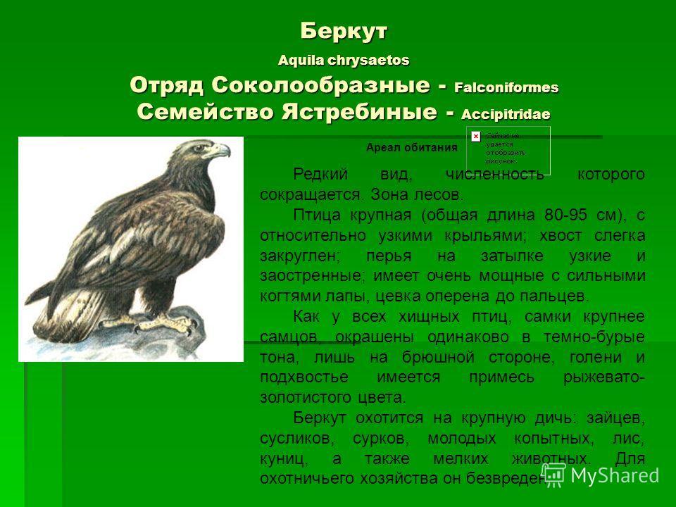 Беркут Aquila chrysaetos Отряд Соколообразные - Falconiformes Семейство Ястребиные - Accipitridae Ареал обитания Редкий вид, численность которого сокращается. Зона лесов. Птица крупная (общая длина 80-95 см), с относительно узкими крыльями; хвост сле