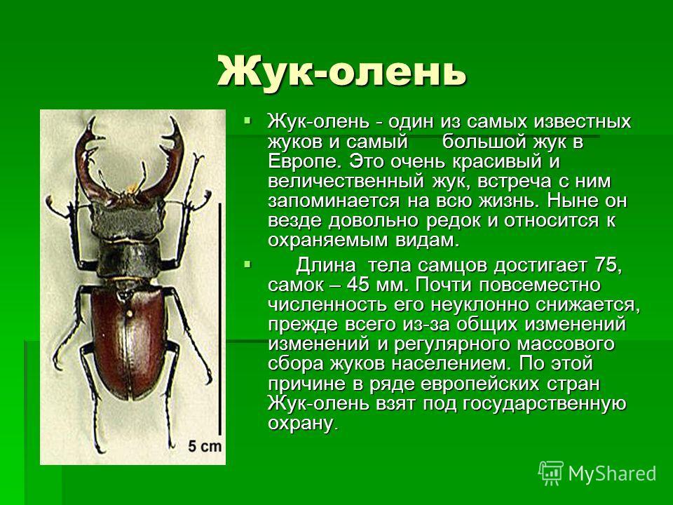 Жук-олень Жук-олень - один из самых известных жуков и самый большой жук в Европе. Это очень красивый и величественный жук, встреча с ним запоминается на всю жизнь. Ныне он везде довольно редок и относится к охраняемым видам. Жук-олень - один из самых