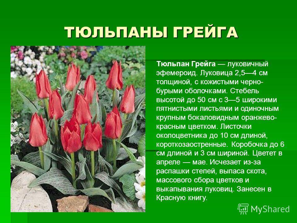 ТЮЛЬПАНЫ ГРЕЙГА Тюльпан Грейга луковичный эфемероид. Луковица 2,54 см толщиной, с кожистыми черно- бурыми оболочками. Стебель высотой до 50 см с 35 широкими пятнистыми листьями и одиночным крупным бокаловидным оранжево- красным цветком. Листочки око