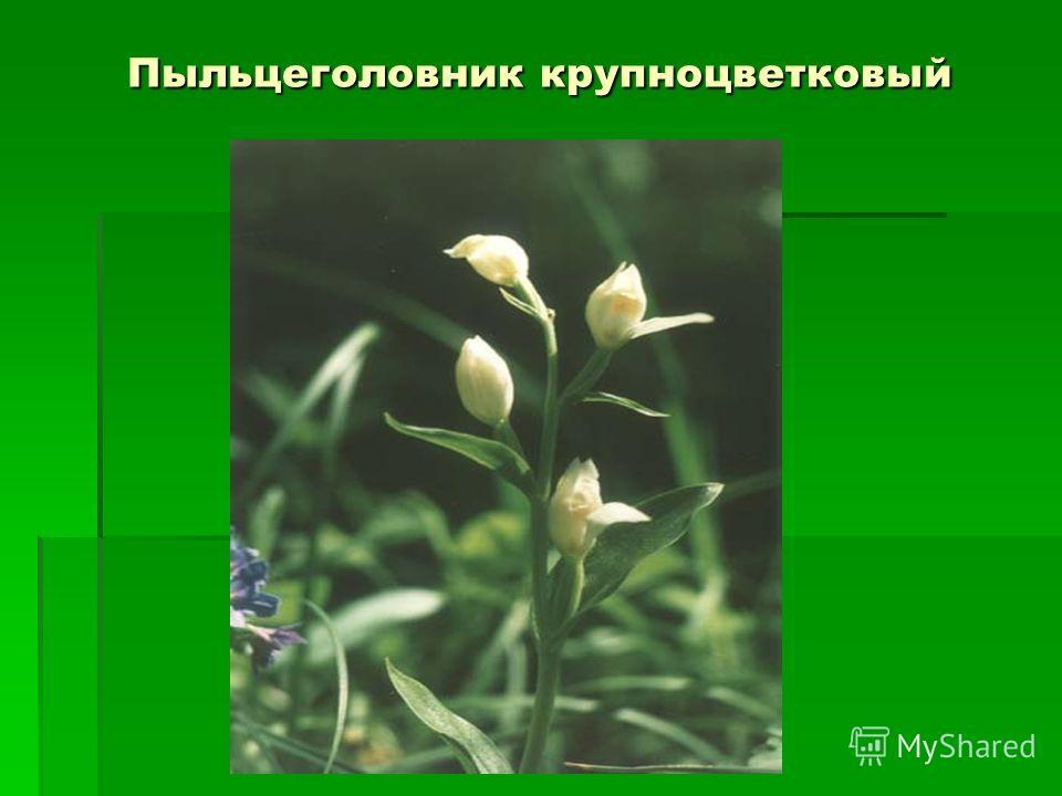 Пыльцеголовник крупноцветковый