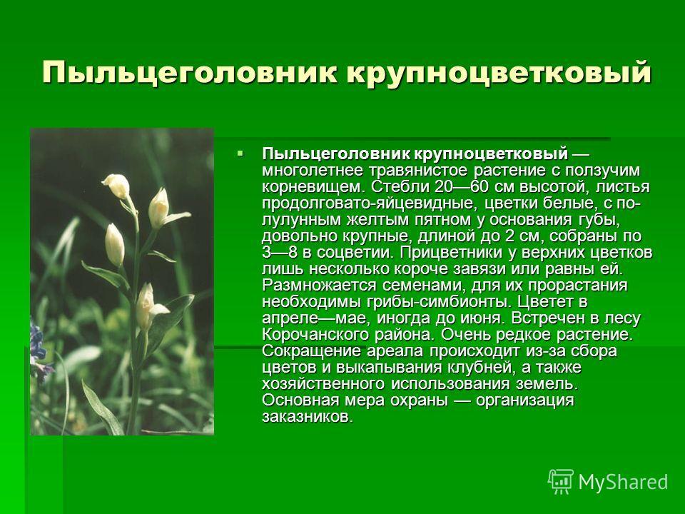 Пыльцеголовник крупноцветковый многолетнее травянистое растение с ползучим корневищем. Стебли 2060 см высотой, листья продолговато-яйцевидные, цветки белые, с по лулунным желтым пятном у основания губы, довольно крупные, длиной до 2 см, собраны по