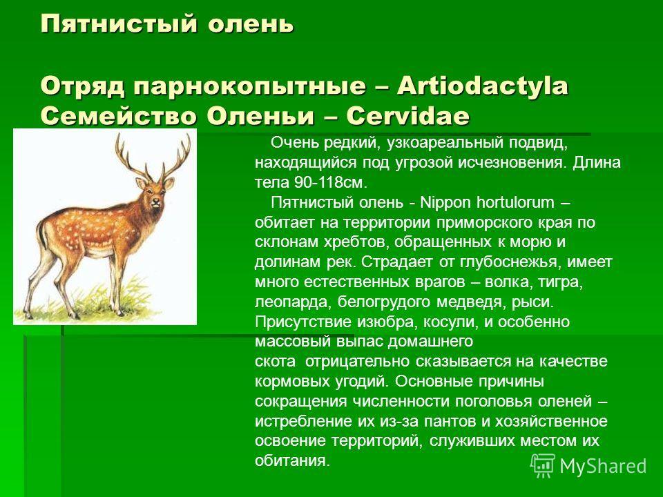 Пятнистый олень Отряд парнокопытные – Artiodactyla Семейство Оленьи – Cervidae Очень редкий, узкоареальный подвид, находящийся под угрозой исчезновения. Длина тела 90-118см. Пятнистый олень - Nippon hortulorum – обитает на территории приморского края
