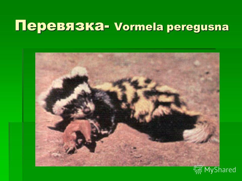 Перевязка- Vormela peregusna