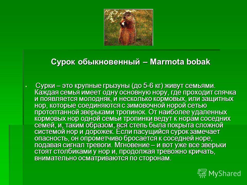 Сурок обыкновенный – Marmota bobak Сурки – это крупные грызуны (до 5-6 кг) живут семьями. Каждая семья имеет одну основную нору, где проходит спячка и появляется молодняк, и несколько кормовых, или защитных нор, которые соединяются с зимовочной норой