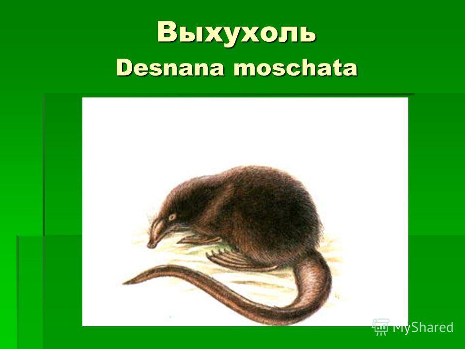 Выхухоль Desnana moschata