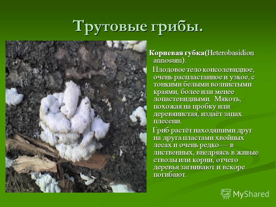 Трутовые грибы. Корневая губка(Heterobasidion annosum). Плодовое тело консолевидное, очень распластанное и узкое, с тонкими белыми волнистыми краями, более или менее лопастевидными. Мякоть, похожая на пробку или деревянистая, издаёт запах плесени. Гр