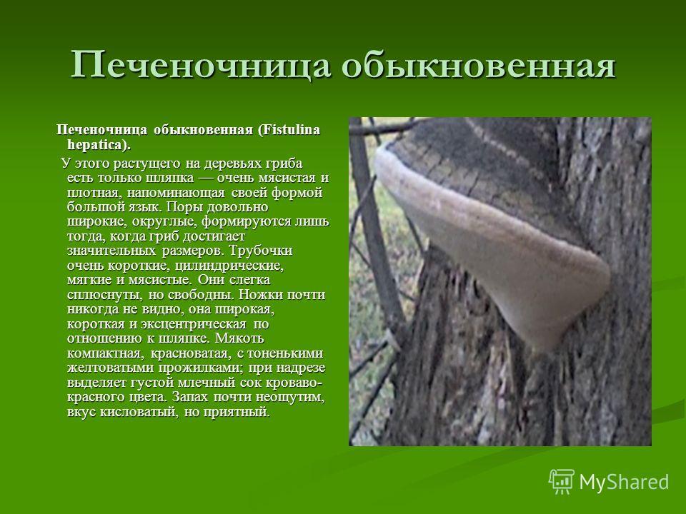 Печеночница обыкновенная Печеночница обыкновенная (Fistulina hepatica). Печеночница обыкновенная (Fistulina hepatica). У этого растущего на деревьях гриба есть только шляпка очень мясистая и плотная, напоминающая своей формой большой язык. Поры довол