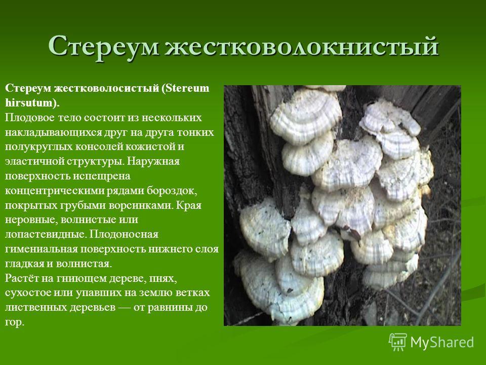 Стереум жестковолокнистый Стереум жестковолосистый (Stereum hirsutum). Плодовое тело состоит из нескольких накладывающихся друг на друга тонких полукруглых консолей кожистой и эластичной структуры. Наружная поверхность испещрена концентрическими ряда