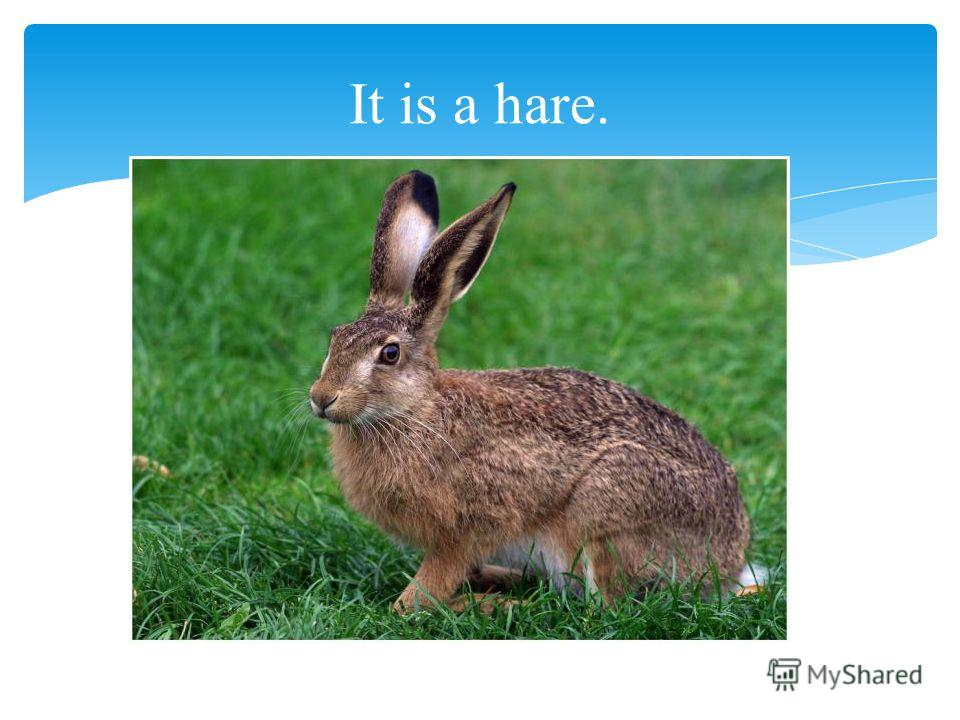 It is a hare.