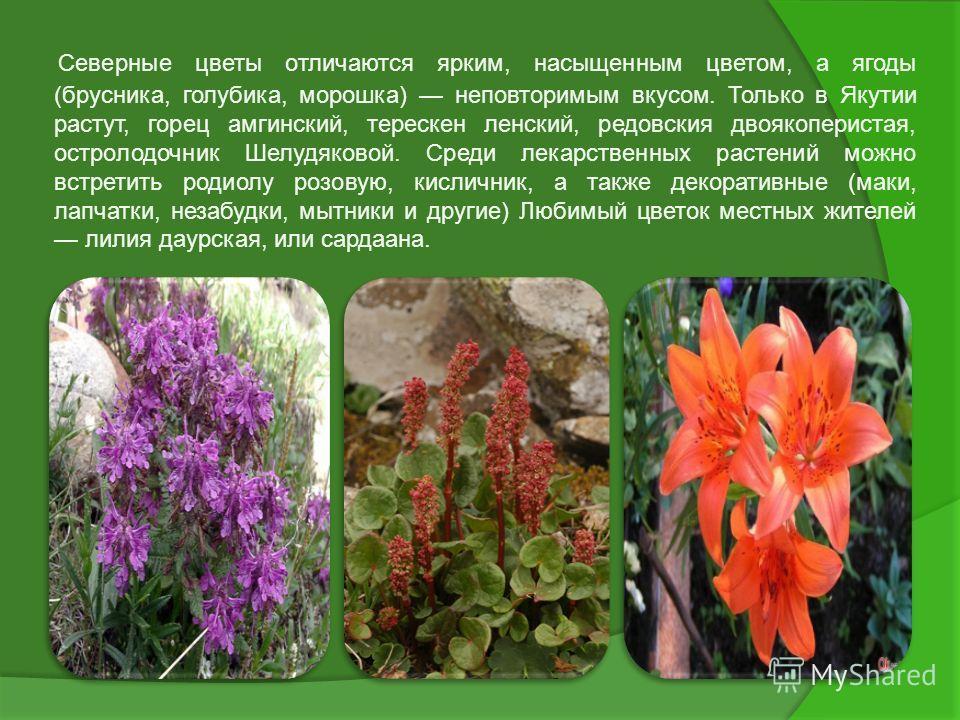 Северные цветы отличаются ярким, насыщенным цветом, а ягоды (брусника, голубика, морошка) неповторимым вкусом. Только в Якутии растут, горец амгинский, терескен ленский, редовския двоякоперистая, остролодочник Шелудяковой. Среди лекарственных растени